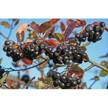 купить Арония (рябина черноплодная) в новосибирске, купить Лесо-декоративные в новосибирске