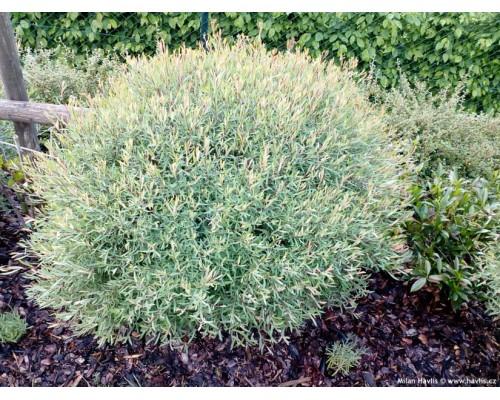Ива пурпурная НАНА (Salix purpurea Nana)