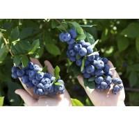 Голубика Бригитта Блю (Brigitta Blue)