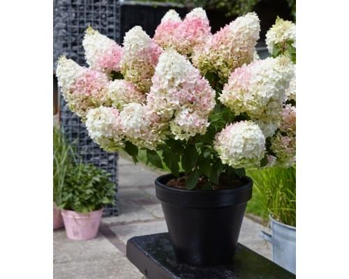 Гортензия метельчатая Литл Блоссом (Little Blossom) ОКС