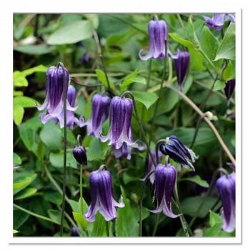 Клематис цельнолистный Рогучи Roguchi (Small Flowered), ЗКС 2л