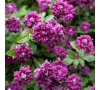 Клематис Пурпуреа Плена Элеганс (Purpurea Plena Elegans), ЗКС 2 л