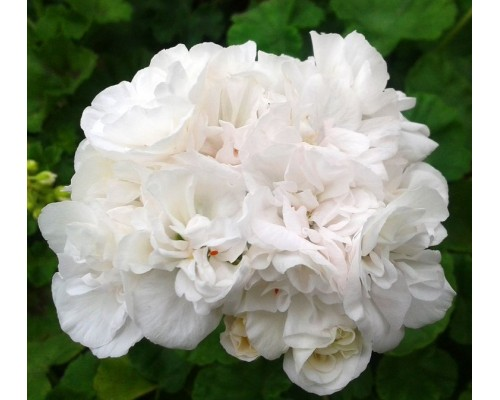 Gardenia зональная
