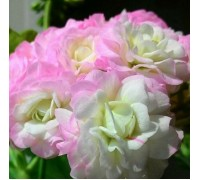 Sutarve Nadya K зональная розебудная