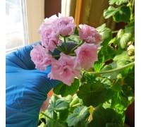 Millfield Rose (Милфилд Роуз) Ivy гибрид