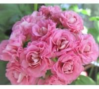 Swanland Pink/Australien Pink Rosebud зональная