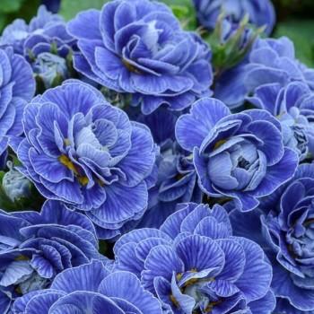 Примула Беларина Батик Блю (Baltic Blue)