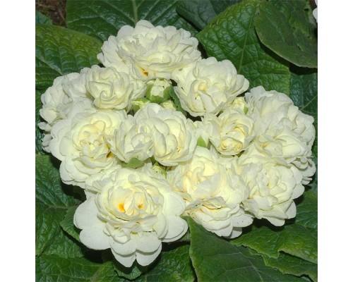 Примула Беларина Крем (Belarina Cream)