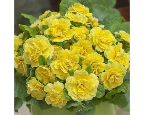 Примула Беларина Баттеркап Йеллоу (Buttercup Yellow)