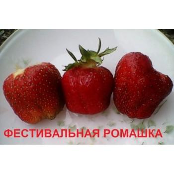 ФЕСТИВАЛЬНАЯ РОМАШКА